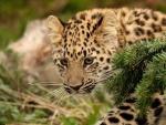 Stalking Big Cat