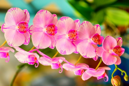 Pink Orchid Flowers Nature Background Wallpapers On