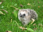 Sweet hedgehog