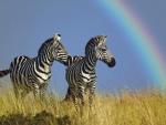 Zebras and rainbow