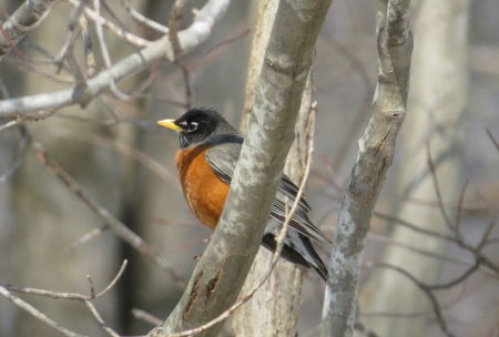 Out on a Limb and Looking for Spring - limb, robin, spring, country, tree, april, bird, may, nature, march