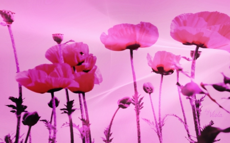 Pink poppies flowers nature background wallpapers on desktop pink poppies poppy viola tricolor flowers design spring pink mightylinksfo