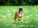 happy boxer dog