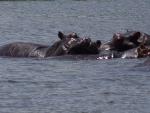 Hippopotamus in Chobe river