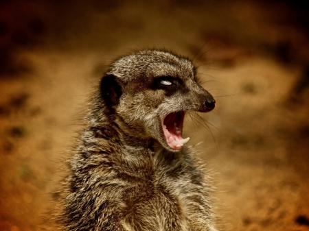 Attention!!! - meerkat, Attention, desert, animal, africa