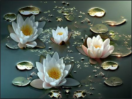 White Water Lillies - lillies, white water lillies, hardy, water lillies, white