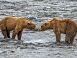 Nose to Nose Grizzlies