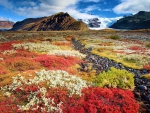 aurumn flowers on an icelandic prairie