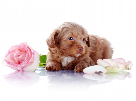 Adorable Puppy - with love, rose, adorable, roses, sweet, dog face, cute, puppies, love, petals, eyes, animals, dogs, puppy, dog