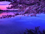 cherry blossom over the tidal basin in dc