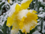 daffodil under a snow