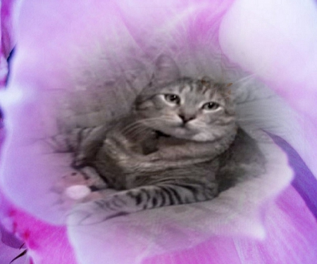 Heavenly Flower - Purple, Love, Pixie-bob, Cat, Beautiful, Sweet, Flower, Teddy Bear