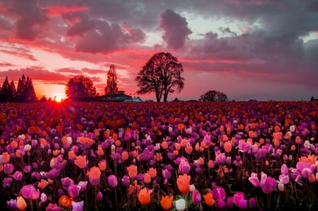 Tulips field at sunset - pretty, amazing, glow, lovely, colors, beautiful, sunset, sky, tree, rays, flowers, nature, tulips, field
