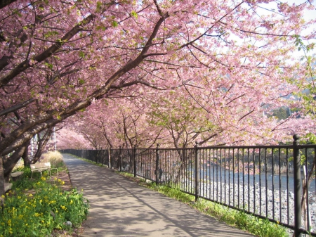 Sakura Walk Other Nature Background Wallpapers On Desktop Nexus
