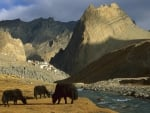 yaks by a tibetan river