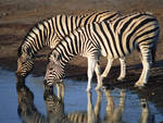 Two Zebras Drinking From a Lake