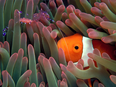 Untitled Wallpaper - anemonefish