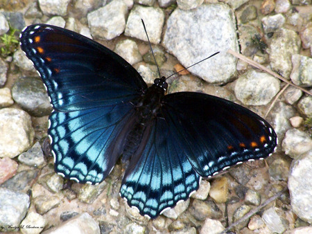 Red Spotted Purple Butterfly - butterfly, spotted butterfly, red spotted purple butterfly, red spotted butterfly, purple spotted butterfly