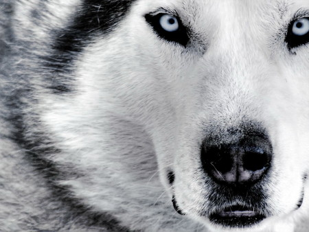 Siberian Husky Face - Close Up White Wolf Blue Eyes Face