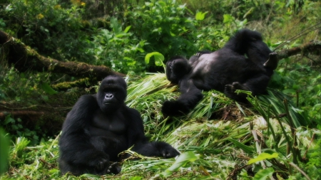Gorillas - Primates, Monkeys, Jungle, Gorillas, Gorilla