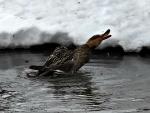 mallerd female duck