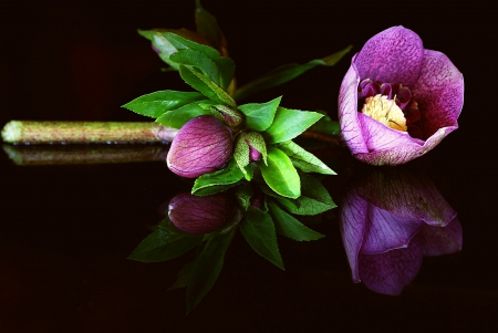 Flower Helleborus - reflection - Helleborus, background, flower, black, reflection