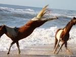 Assateaque horses