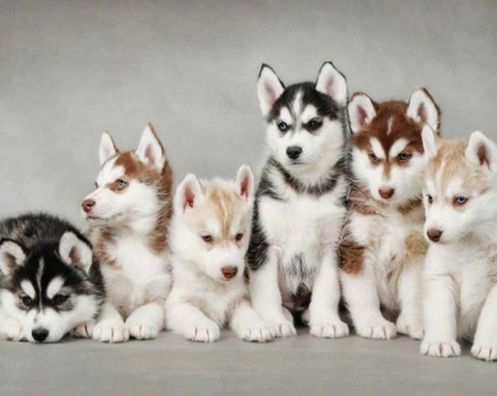 Sons of the North - North, pets, sweet, cute, wallpaper, cub, nature, husky, animals, dogs, puppy