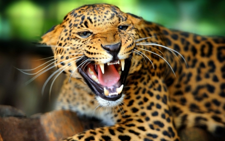 Wild Leopard - forest, wild, animal, teeth