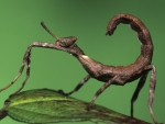 The praying mantis as The Scorpio
