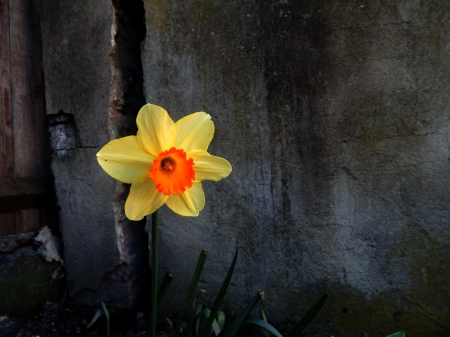 ah what a lonely flower - crack, orange, black, yellow, lonely, spring, wall, alone, dandelion, green, dark, grey, flower