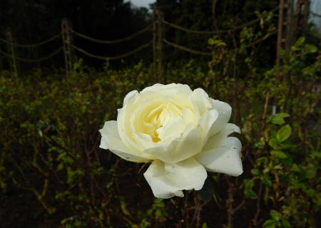 white rose in a field of leaves - fence, rose, of, lonely, a, thorns, leaves, alone, in, green, london, central, flower, white, field, stem
