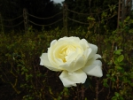 white rose in a field of leaves