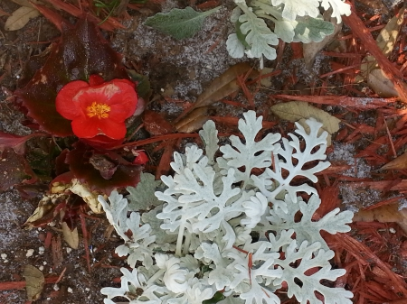 Begonia and Dusty Miller - Begonia, Dusty Miller, Flowers, Natural