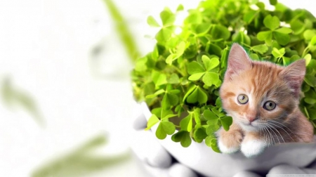Good luck! ;) - Ireland, HD, Irish, pets, sweet, cute, green, St Patricks day, clover, wallpaper, nature, luck, cats, animals