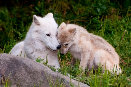 Maternal Love - nature, Wolf, Mother, Maternellove, animals, Child, Wolves