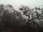 Oak Trees in the Fog (California)