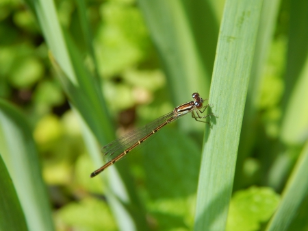 So Pretty Dragonfly - cute, pretty, photography, dragonfly, insect, bugs, nature