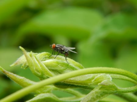 Ugly House fly - insect, bugs, nature, housefly, ugly