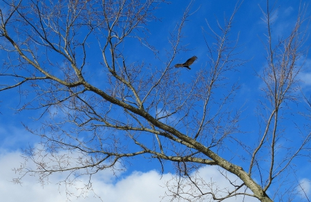 The Hunt Is On - buzzard, fowl, country, sky, clouds, animal, tree, limbs, hunting, bird, nature, branches, hunter