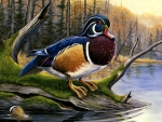 Colorful Wood Duck F2