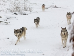 Wolves Running In Snow-