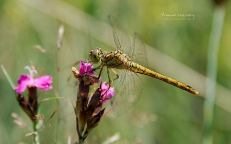 Dragonfly - HD, spring, abstract, photography, wallpaper, macro, dragonfly, flowers, nature, animals, insects