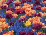 Hyacinths and Double Tulips
