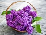 ♥Lilac Flowers♥