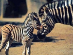 Zebra Mom and her newborn baby