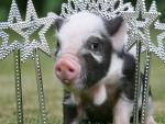 Piglet princess