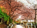 Cherry Blossoms on Burrard Street