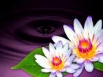 *Purple Twin Lotus*