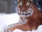 Tiger resting in the snow winter